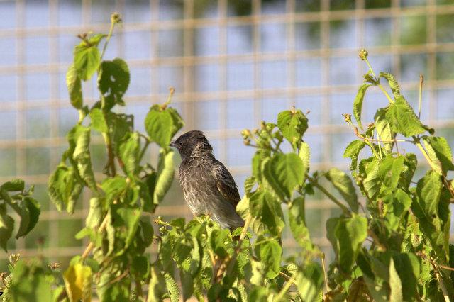 bulbul bird, Pycnonotidae