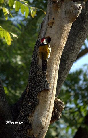 Black-Rumped-Flameback-jaipur-birders