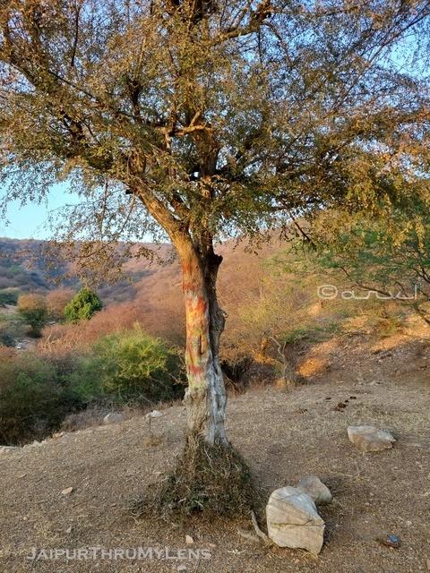 anogeissus-pendula-dhok-tree-nagahgarh-hills-aravali-jaipur