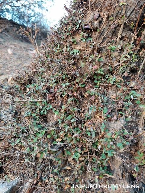 anogeissus-pendula-dhok-tree-roots-aravali-hills-jaipur