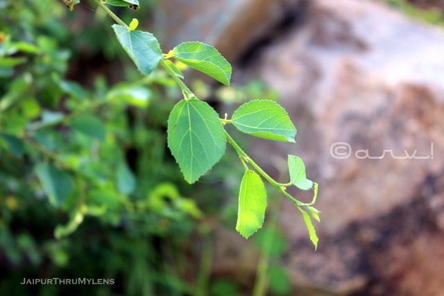 anogeissus-pendula-tree-leaves-dhok-ped-aravali-hills