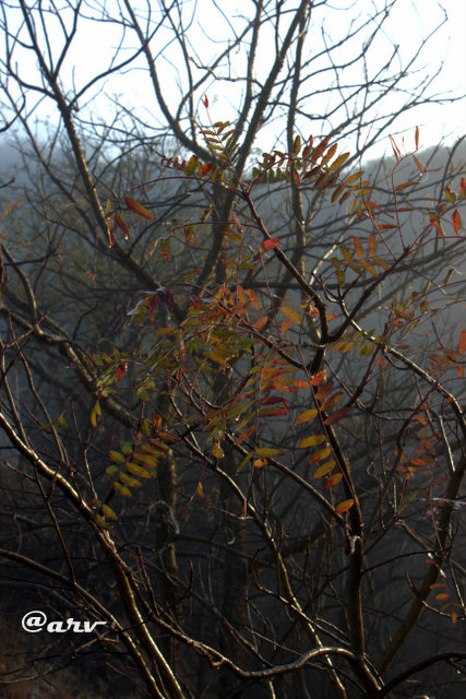 anogeissus-pendula-dahuk-tree-dhok-jaipur