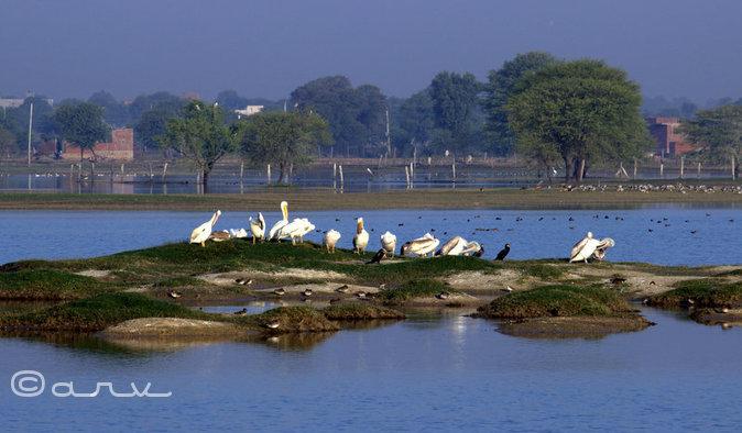 dalmatian-pelican-barkheda-jaipur