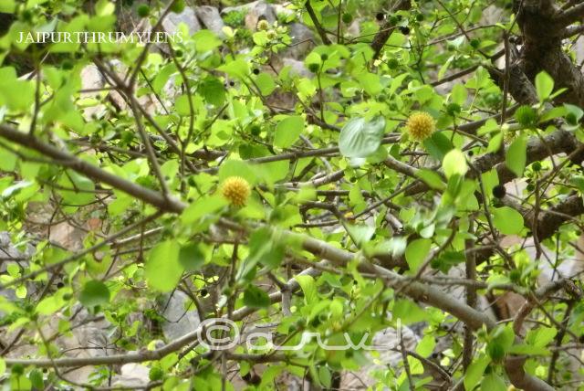 Neolamarckia cadamba lord krishna tree kadamaba in jaipur