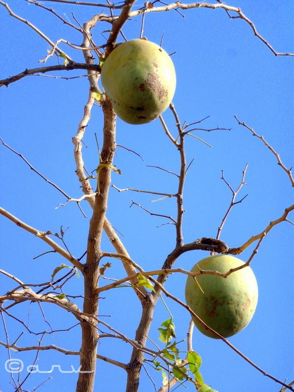 Bel Fruit & tree