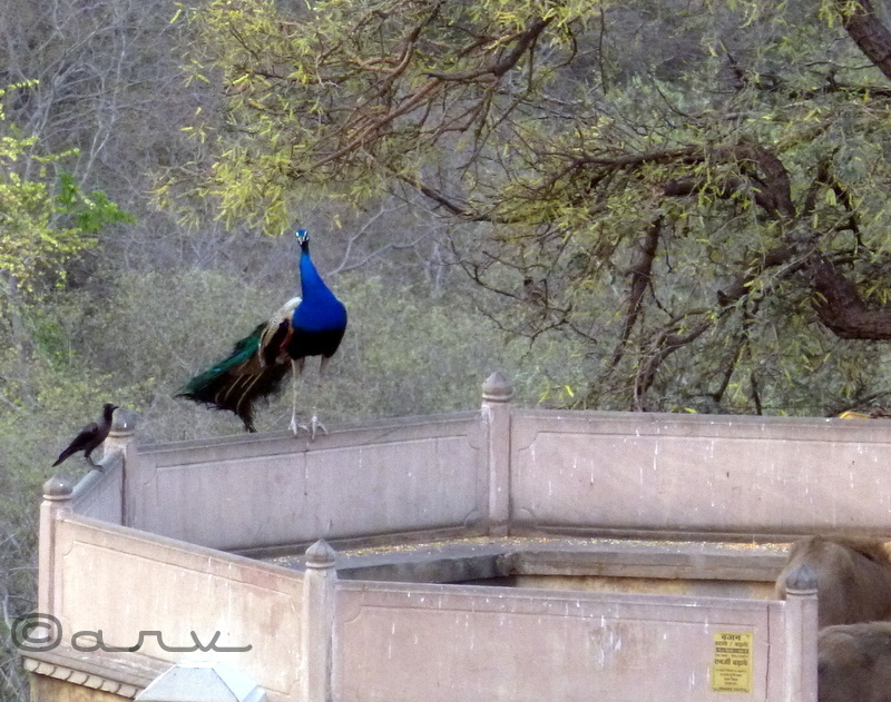 peacock in jaipur