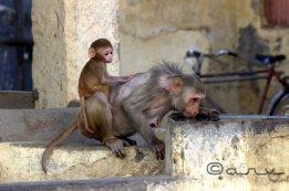 rhesus-macaque-monkey