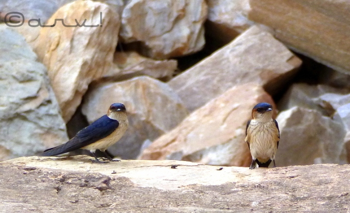 long-tail-barn-swallow-jaipur
