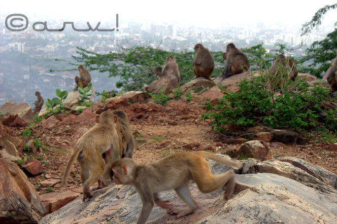 monkey-temple-jaipur-galta