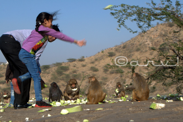 hindu-devotee-feeding-monkey-galta-temple-jaipur