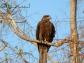 jaipur birding black kite jaipur