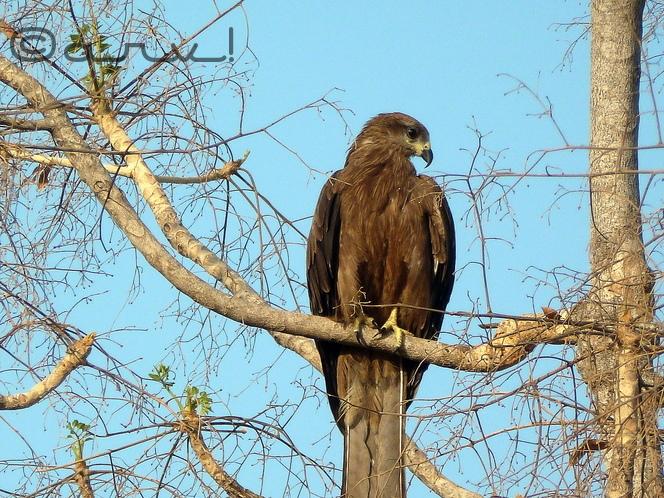 jaipur-birding-black-kite