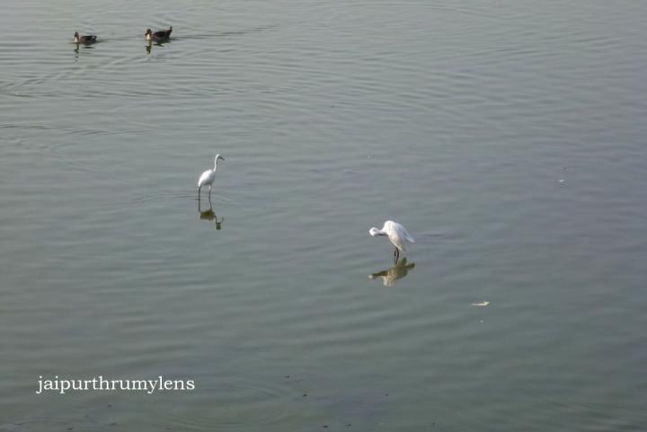 jal-mahal-jaipur-birding