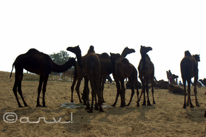 camels at pushkar fair in pushkar rajasthan