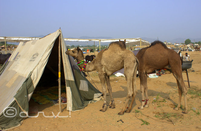 camels-in-pushkar-fair-at-pushkar-rajasthan-india
