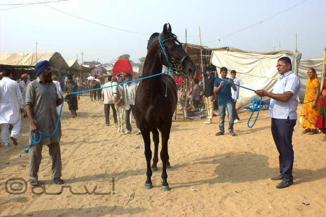 horse-in-pushkar-fair-at-pushkar-rajasthan
