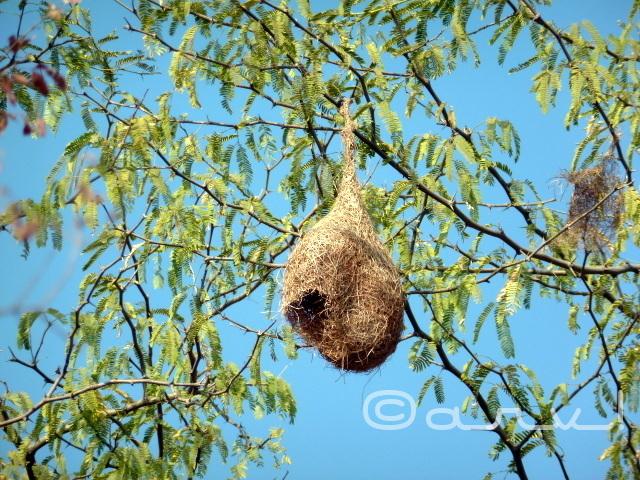 baya-weaverbird-jaipurthrumylens-wpc-airless