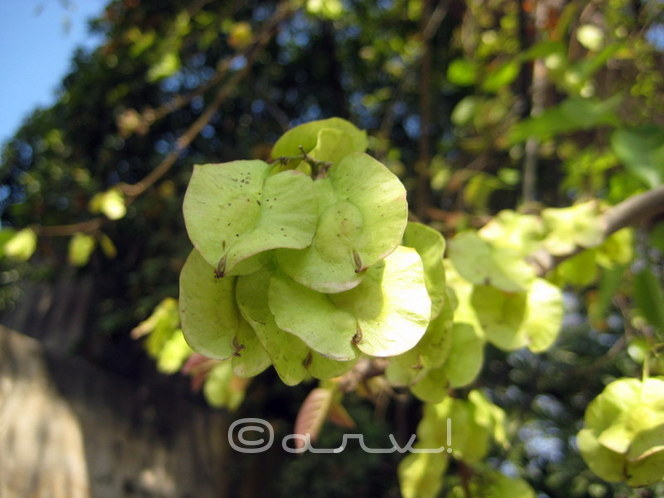 cause-of-allergy-and-ashthama-in-jaipur-delhi-holoptelea-integrifolia-tree