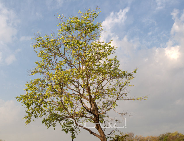 Holoptelea-integrifolia-cause-of-allergy-in-north-india-chilbil-indian-cork-tree
