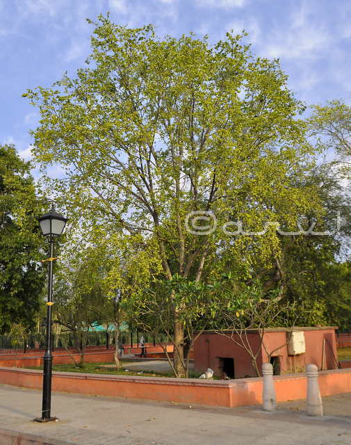 pollens-of-holoptelea-tree-causes-allergy-asthma-in-jaipur