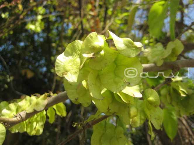 what-causes-allergy-and-ashthama-in-jaipur-delhi-holoptelea-integrifolia-bandar-ki-roti