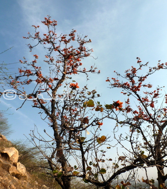 palaash-tree-in-jaipur