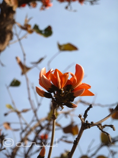 tesu-ke-phool-palaash-flower-flame-of-forest-close-up-jaipur