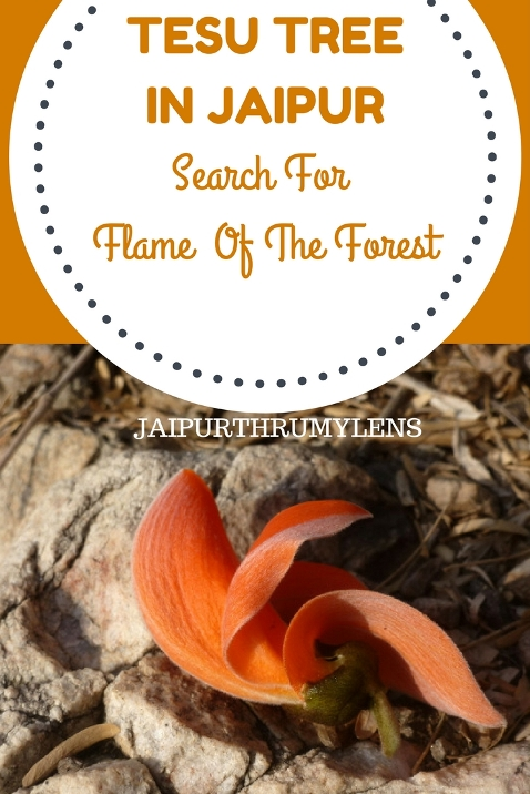 Tesu Ke Phool tree Flame of the forest jaipurthrumylens #Palaashflower #Palaashtree #Tesu