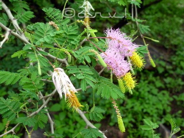 flower-in-jhalana-forest-aravalis-jaipurthrumylens