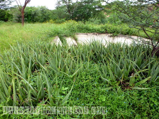 aloe-vera-in-jaipur-forest-world-forestry-arboretum-jaipurthrumylens