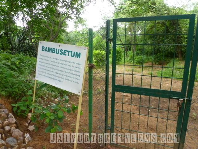 bamboo-plantation-in-jaipur-world-forestry-arboretum