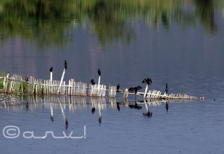 birding-in-jaipur-mansagar-lake-great-cormorant-black-jaipurthrumylens