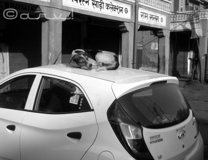 street-dog-on-hyundai-eon-car-johari-bazaar-jaipur