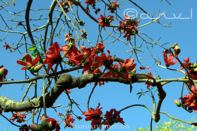 Bombax Ceiba shamli kantesanwar semal tree flowers blooming in jaipur