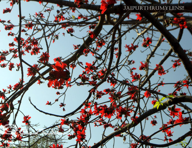 red beauty Bombax Ceiba spring bloom crimson beauty jaipur jaipurthrumylens