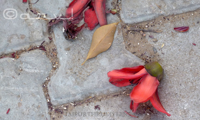 semal flower phool fallen on the ground in jaipur