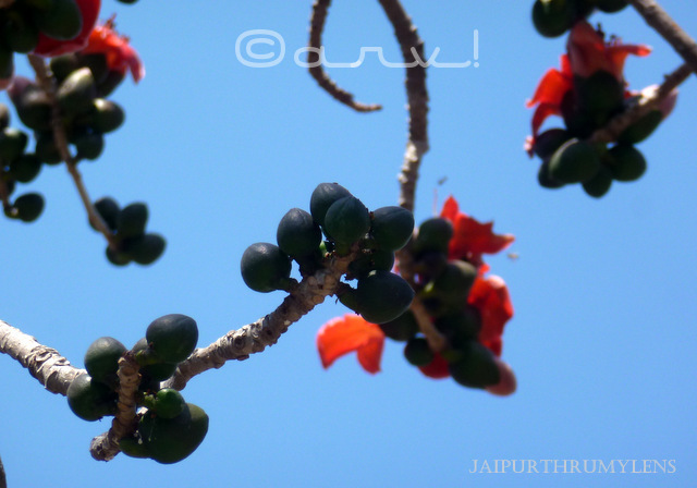 semal tree flower blooming in March spring time jaipurthrumylens