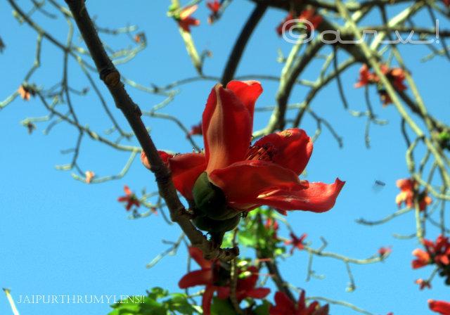 semal tree flower in spring jaipur jaipurthrumylens