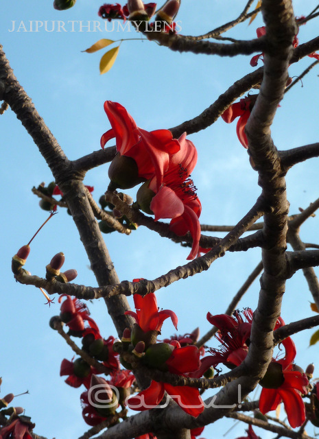 semal tree red flower blooming in spring season jaipur jaipurthrumylens