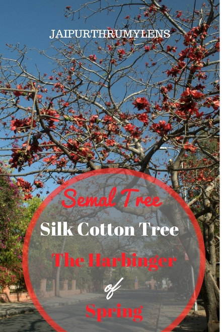 semal-tree-silk-cotton