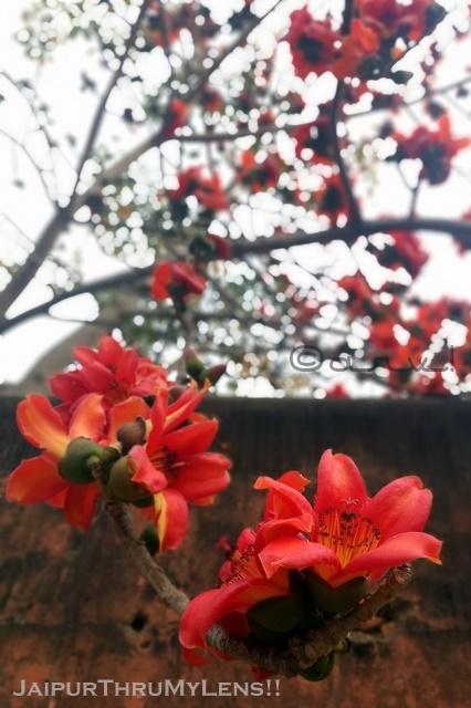 silk-cotton-tree-flower-semal-ka-ped-bombax-ceiba