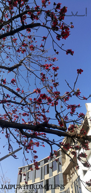 silk cotton tree in jaipur semal ka ped