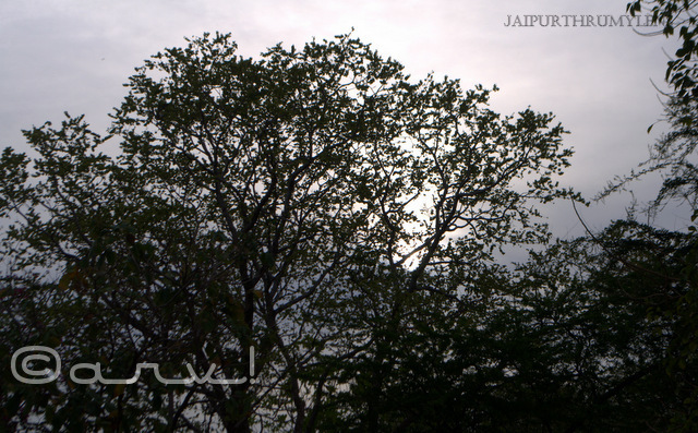 thursday tree love sunrise in jaipur skywatch friday