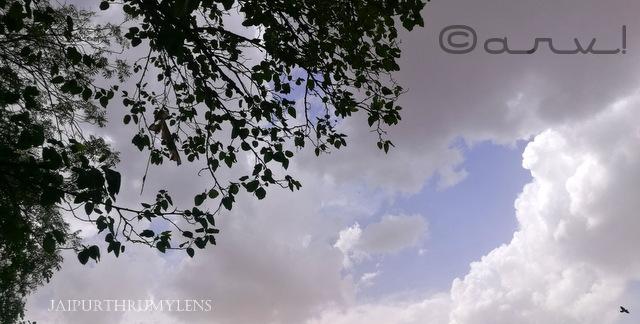 Ficus-religiosa-peepal-tree-bodhi-jai-niwas-hotel-jaipur-skywatch-friday-jaipurthrumylens