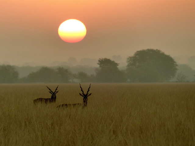 Sunrise black bucks tal chappar wildlife sanctuary