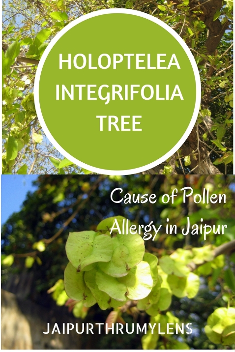 Holoptelea Integrifolia Tree cause of pollen allergy in Jaipur