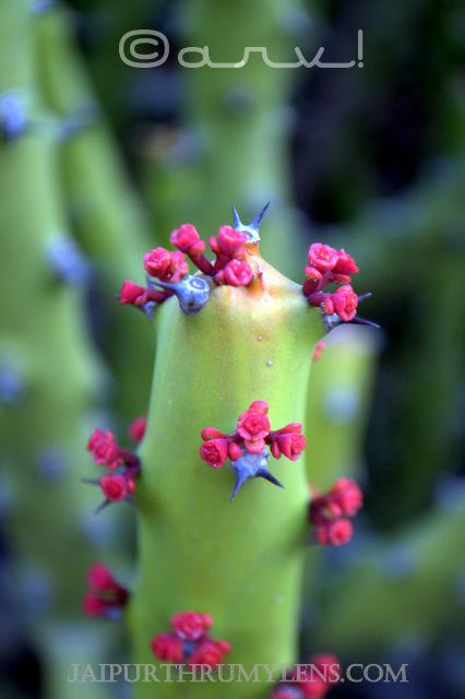 danda-thor-Euphorbiaceae-Euphorbia-Caducifolia-rajasthan-thar-desert-jaipurthrumylens