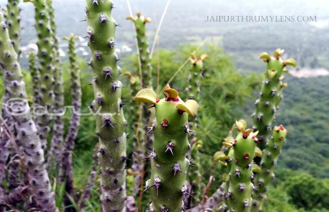 Euphorbia-Caducifolia-cactus-like-succulent-aravali-hills-rajasthan