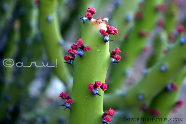 Euphorbia-Caducifolia- Euphorbiaceae-danda-thor-aravali-hills-succulent