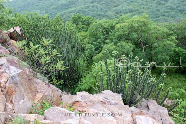 Euphorbia-Caducifolia-thar-desert-cactus-thor-danda